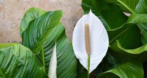 Спатифиллум — цветок женского счастья