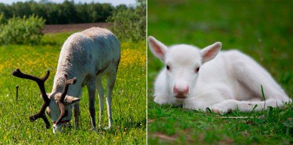 Скидка 50% на посещение фермы оленей и др. животных