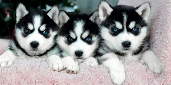 Скидка 60% на фотосессию с щенками хаски