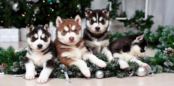 Скидка 60% на зимнюю фотосессию с щенками хаски