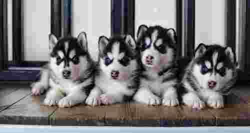 Скидка 70% на фотосессию с милыми щенками хаски